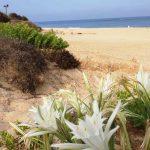 גן לאומי פלמחים: פריחת החבצלות לצד עלייה בזפת