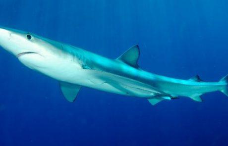 חוויות מתוך צלילה עם כרישים כחולים